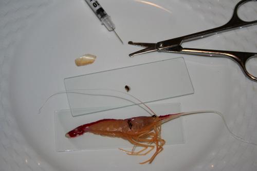 Valentin Elizalde Autopsia Autopsia de una lysmata